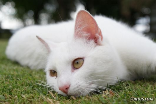 Cute White Cats Wallpapers