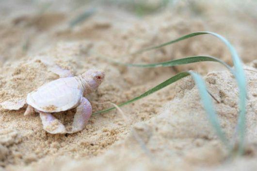 Adorable Albino Turtle Found On Australian Beach