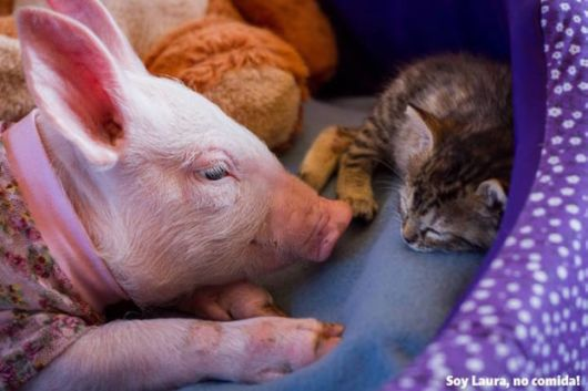 Inseperable Bond Of Rescued Piglet And Tabby Kitten