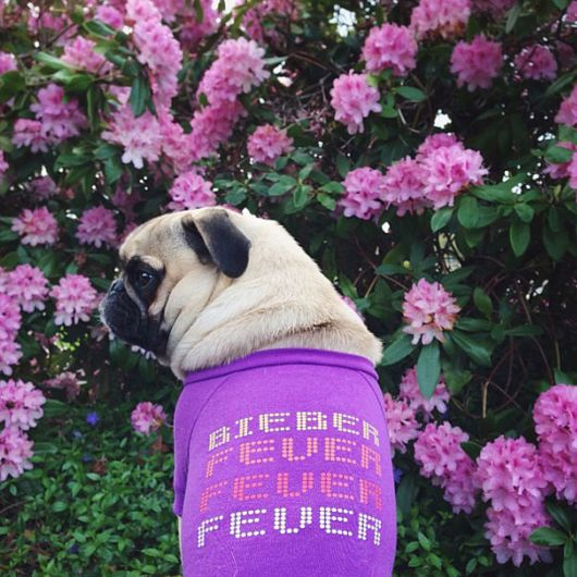 Meet Norm - Pug With the Best Selfies On The Internet